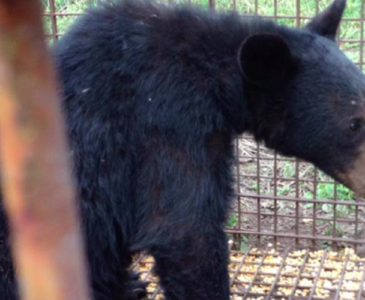 Rescatan oso negro en Nuevo León