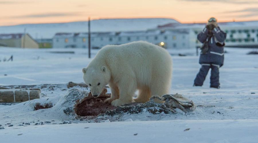 Video: Alerta en Rusia por invasión de osos polares | El Imparcial de Oaxaca