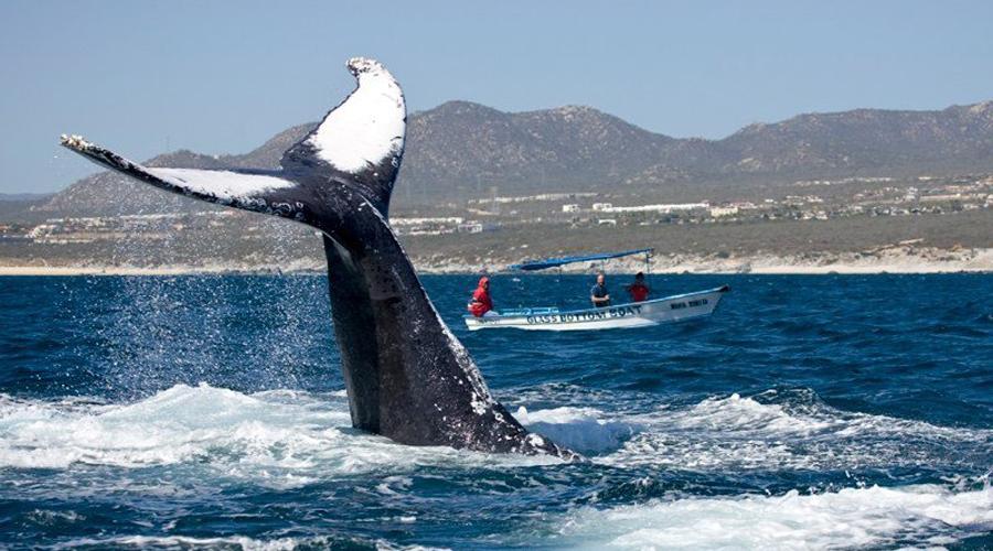 Encuentran cadáver de ballena jorobada en Sinaloa   El Imparcial de Oaxaca