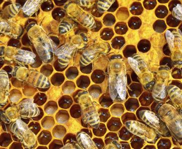Produce Oaxaca anualmente más de cuatro mil toneladas de miel