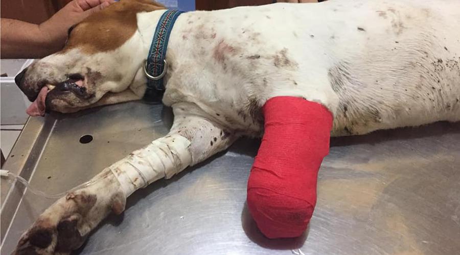 Pitbull ataca a una inofensiva mascota | El Imparcial de Oaxaca