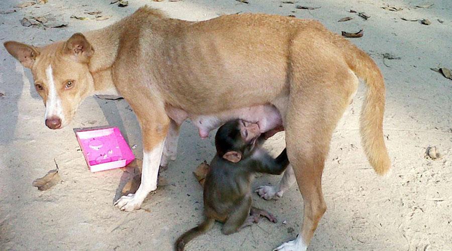 Video: Perrita adopta, cuida, amamanta a un pequeño mono | El Imparcial de Oaxaca