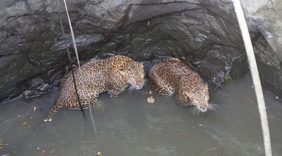 Video: El dramático rescate de dos leopardos que cayeron a un pozo | El Imparcial de Oaxaca