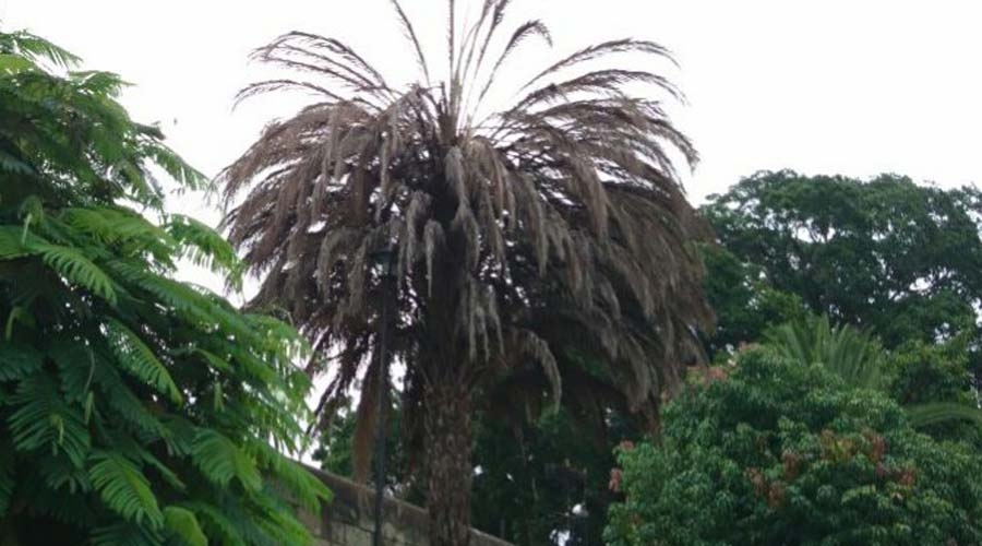 Plaga del picudo negro se extiende a varios municipios de Oaxaca | El Imparcial de Oaxaca