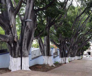 Denuncian desatención de los árboles de la ciudad de Oaxaca