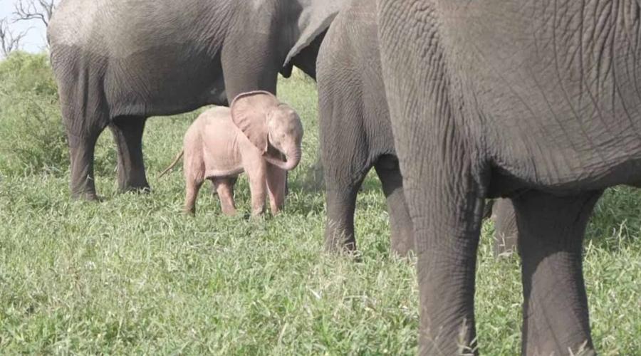 Video: Graban a cría de elefante rosa en safari de Sudáfrica   El Imparcial de Oaxaca