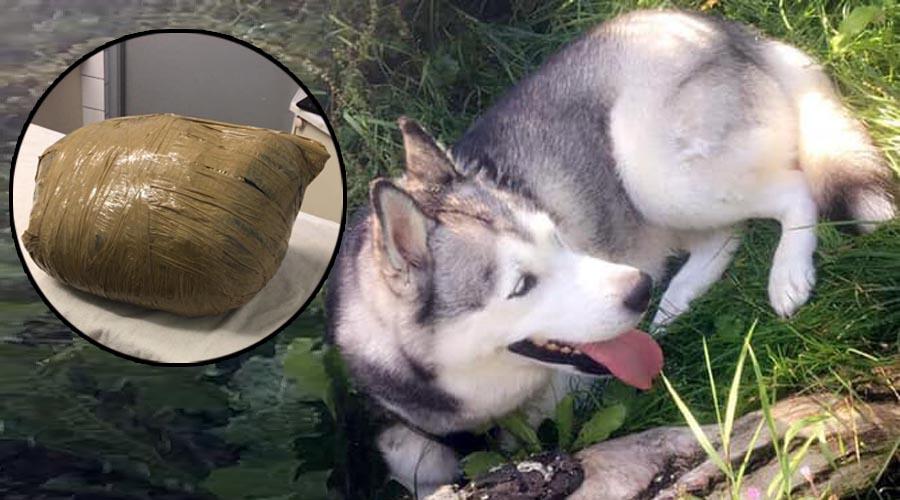Deja a su husky en guardería canina y se la entregan muerta | El Imparcial de Oaxaca