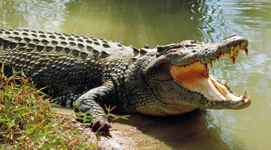 Capacitan sobre manejo  y captura de cocodrilos | El Imparcial de Oaxaca