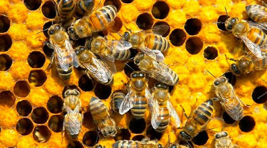 Establecen en Tututepec reglamento  para beneficiar y preservar a las abejas