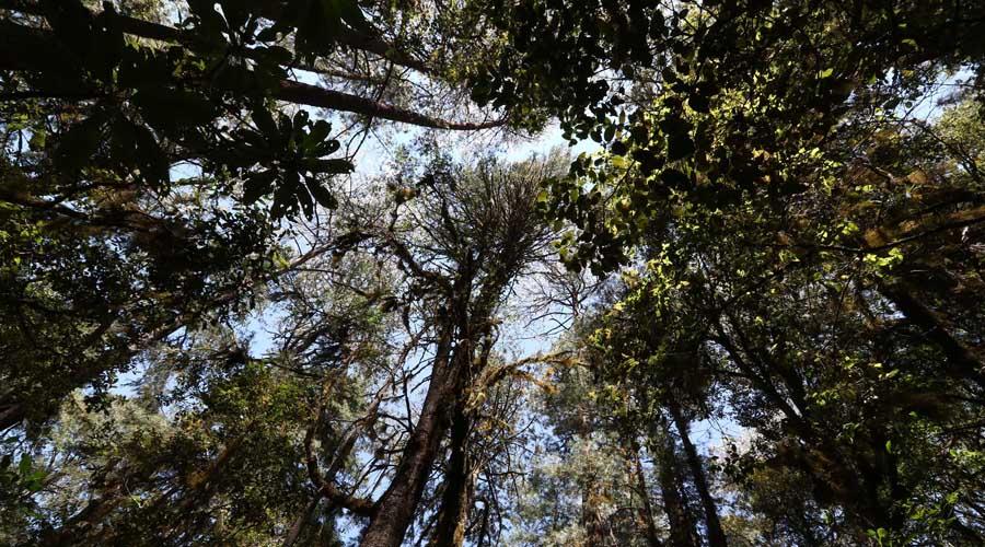 Enfrentan bosques oaxaqueños emergencia por plagas | El Imparcial de Oaxaca