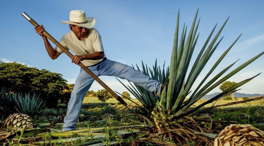 Descubren cuatro nuevas especies de agave en México | El Imparcial de Oaxaca