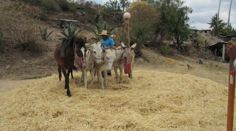 Trillar, loable labor  del campesino en la Mixteca de Oaxaca
