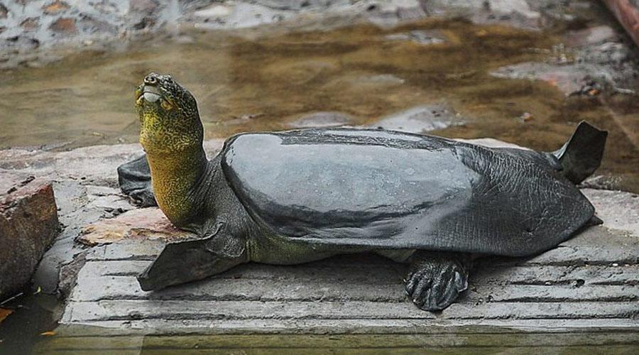 Muere la última tortuga hembra de caparazón blando | El Imparcial de Oaxaca