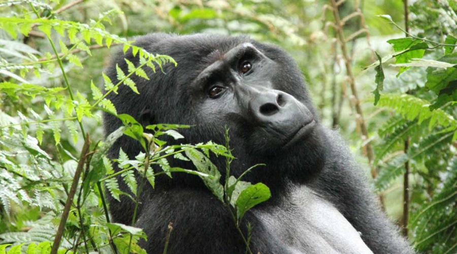 Gorilas se toman selfi con cuidadores y la imagen se vuelve viral | El Imparcial de Oaxaca