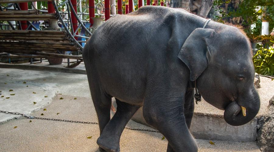 Un bebé elefante muere días después de ser forzado a bailar para grupos de turistas | El Imparcial de Oaxaca
