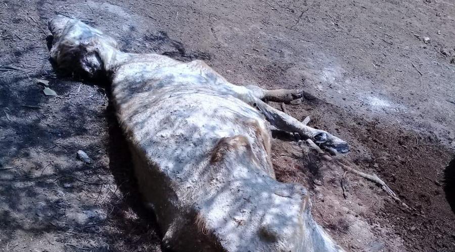 Altas temperaturas y la falta de alimento, causa estragos en ganaderos del Istmo