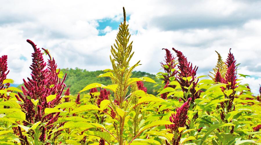 Ante falta de agua, peligra el amaranto en la Mixteca