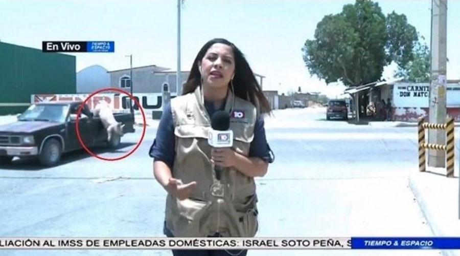 Video: Cerdito cae de camioneta durante reporte en vivo | El Imparcial de Oaxaca