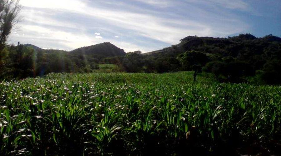 Busca Huajuapan de León producir unas 700  toneladas de maíz | El Imparcial de Oaxaca
