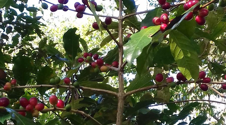 En la Mixteca, se pierden plantas criollas del café