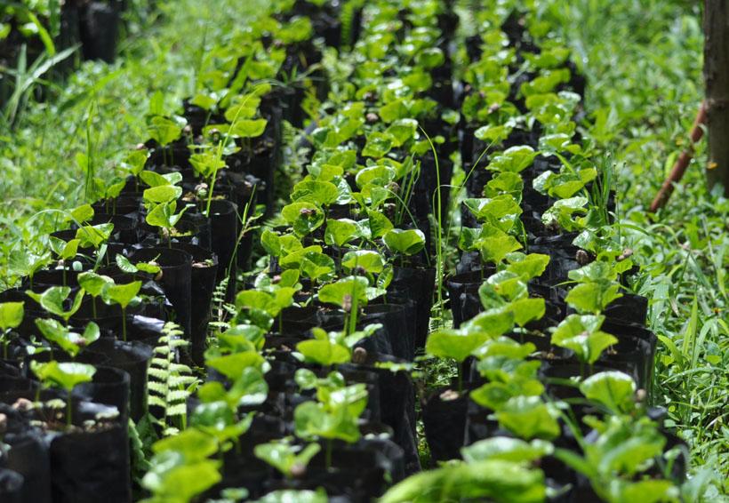 En Oaxaca la producción de café sufre prolongada agonía