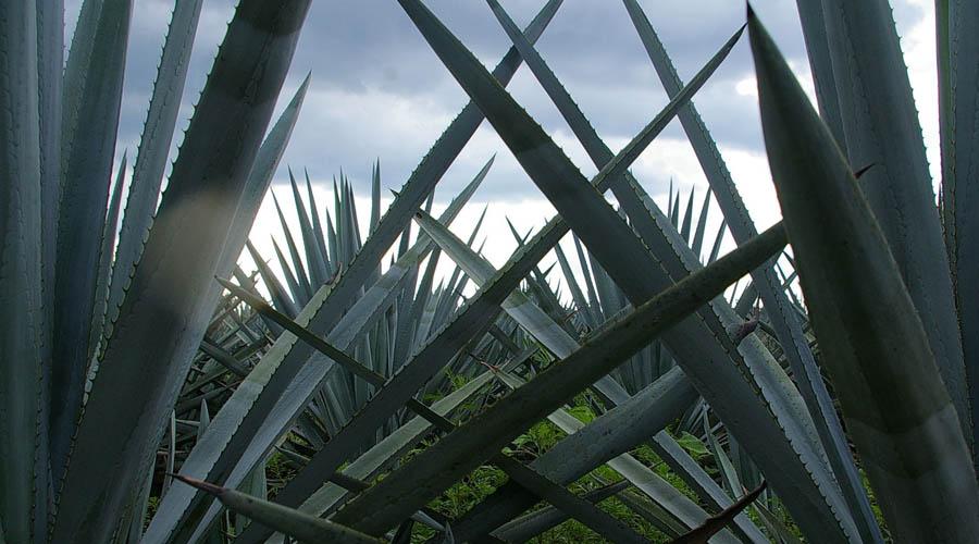 Impulsa UTM producción y conservación de agaves
