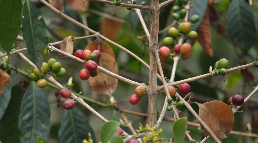 Productores de Taleade Castro padecen crisis de café