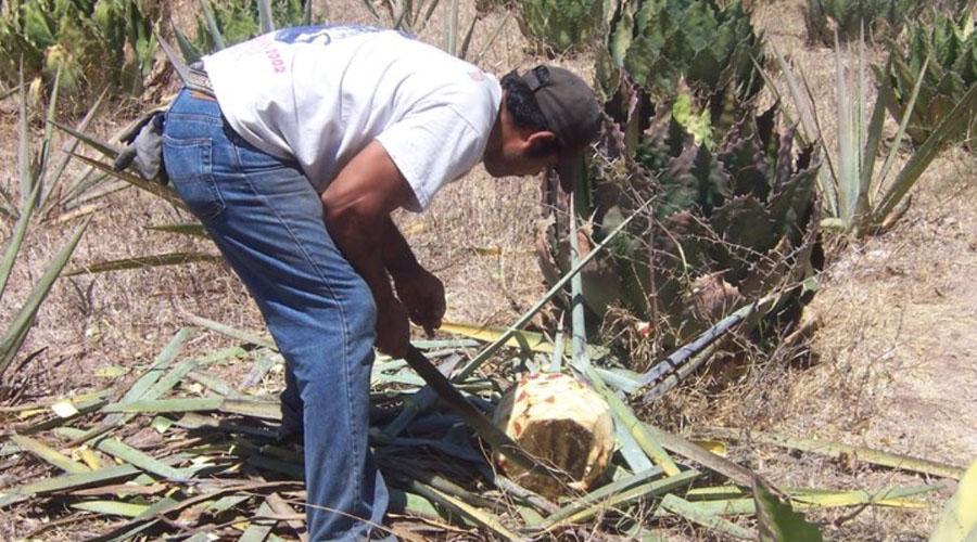 Mezcal mixteco:  sueño de migrantes