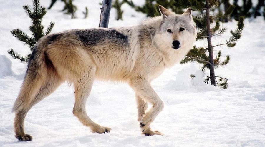 Lobo gigante existió en territorio ruso hace 40 mil años | El Imparcial de Oaxaca