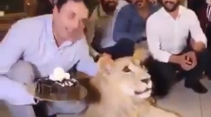 Video: Hombre estampa pastel en la cabeza de una leona doméstica | El Imparcial de Oaxaca