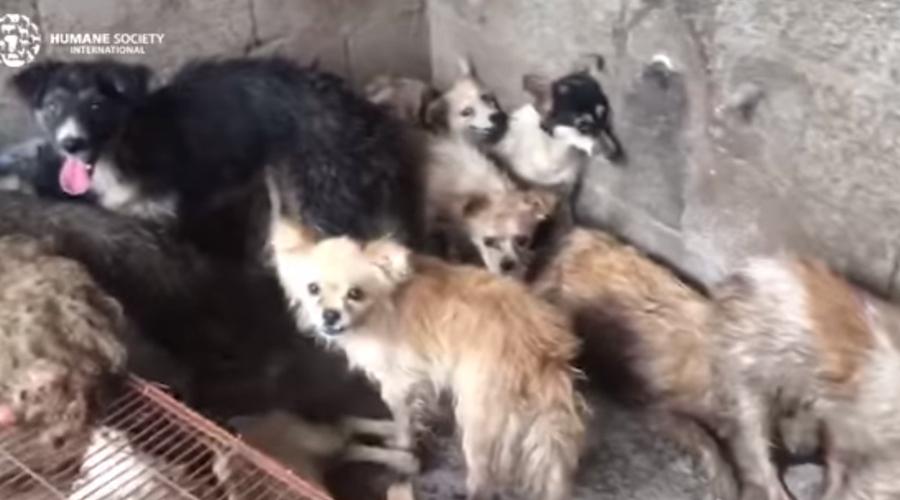 Video: Rescatan a 62 perros que iban a ser cocinados en un festival de China | El Imparcial de Oaxaca