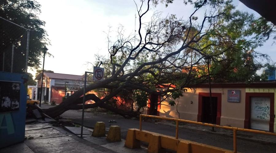 Se cae otro árbol en la ciudad de Oaxaca   El Imparcial de Oaxaca
