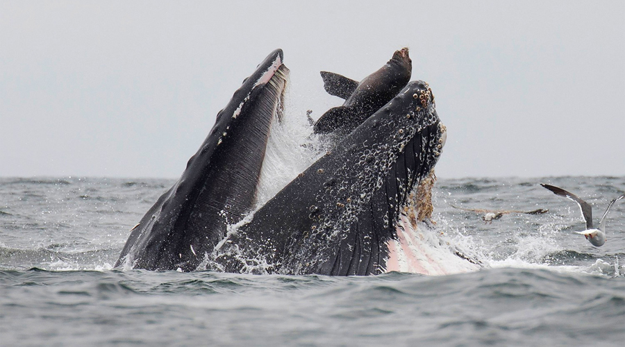 Ballena se traga a león marino y un fotógrafo biólogo lo capta en imagen   El Imparcial de Oaxaca