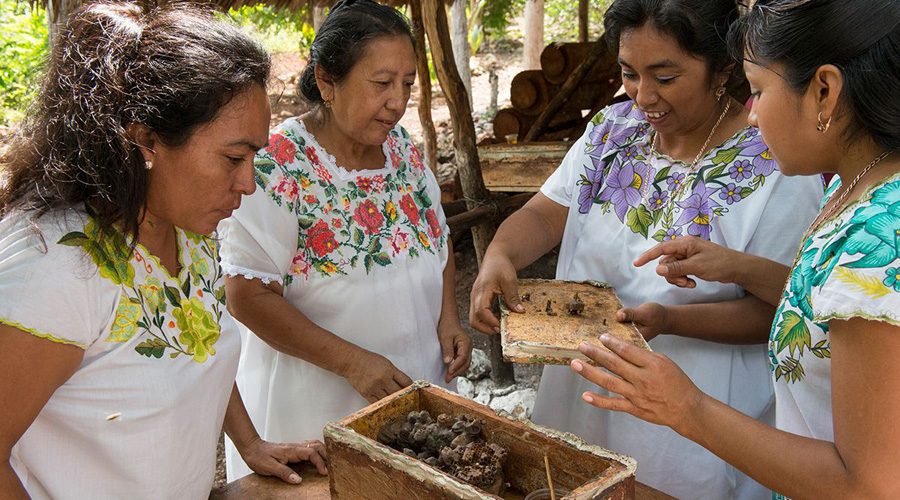 Mujeres mayas preservan abeja endémica sin aguijón, principal polinizadora de la región   El Imparcial de Oaxaca