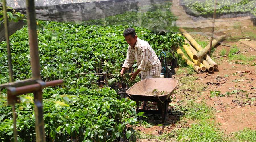 Cafeticultores oaxaqueños entre el abandono y la roya