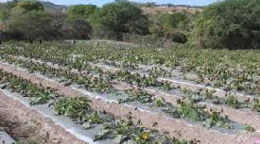 Desaparición de programas federales  está afectando al campo mixteco   El Imparcial de Oaxaca