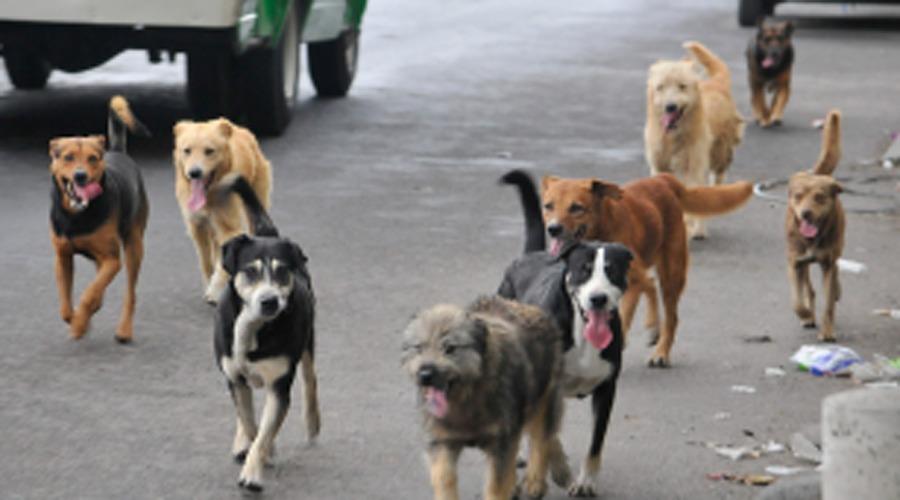 Piden solucionar  problema de perros  callejeros en Huautla | El Imparcial de Oaxaca