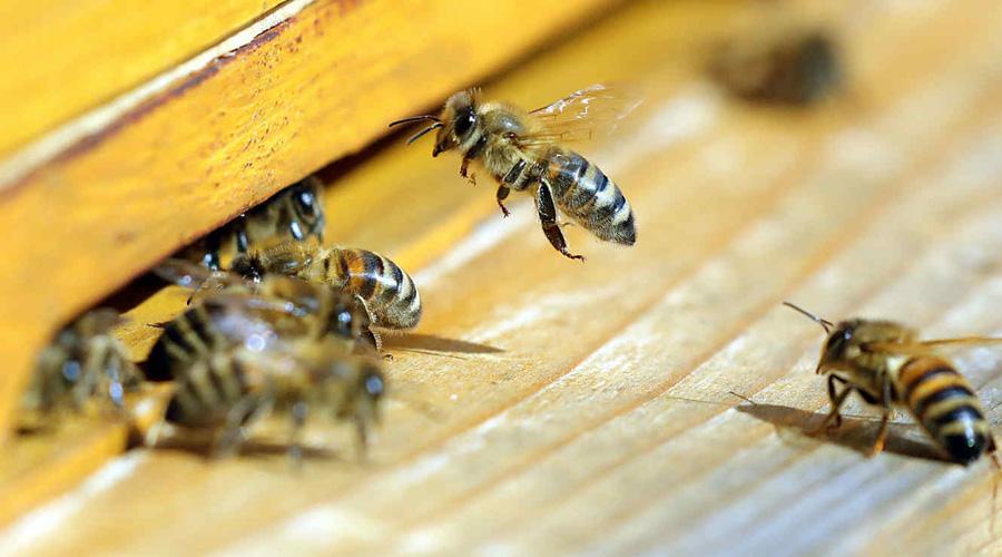 Video: abejas agonizan luego de sismos en California | El Imparcial de Oaxaca