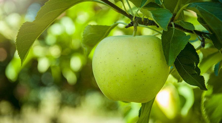 Conoce por qué debes comer manzana verde todos los días | El Imparcial de Oaxaca