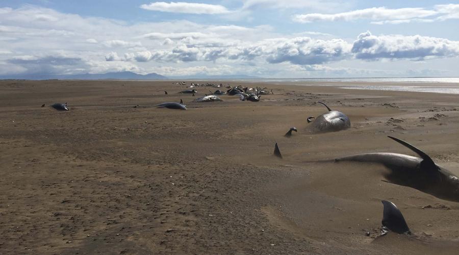 Más de 50 ballenas mueren de manera inexplicable en las costas de Islandia | El Imparcial de Oaxaca