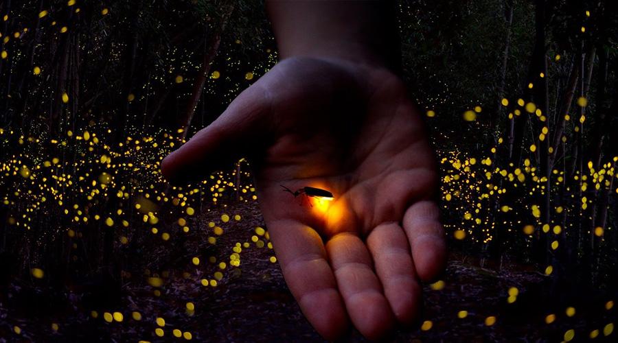Luciérnagas y la inspiración que otorgaron para crear LED más brillantes | El Imparcial de Oaxaca