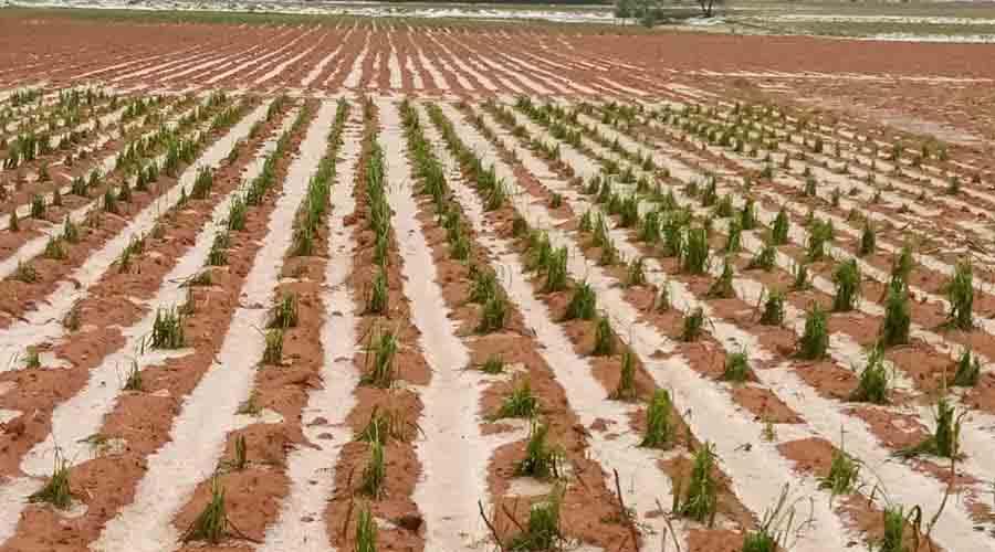 Afectaron granizadas cultivos en la Mixteca de Oaxaca