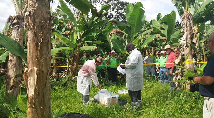 Detectan hongo maligno para plantaciones de plátano en Colombia   El Imparcial de Oaxaca
