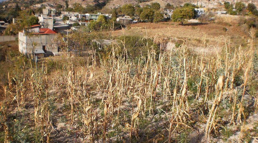 En la Mixtaca, reportan afectaciones a más de dos mil hectáreas de cultivos