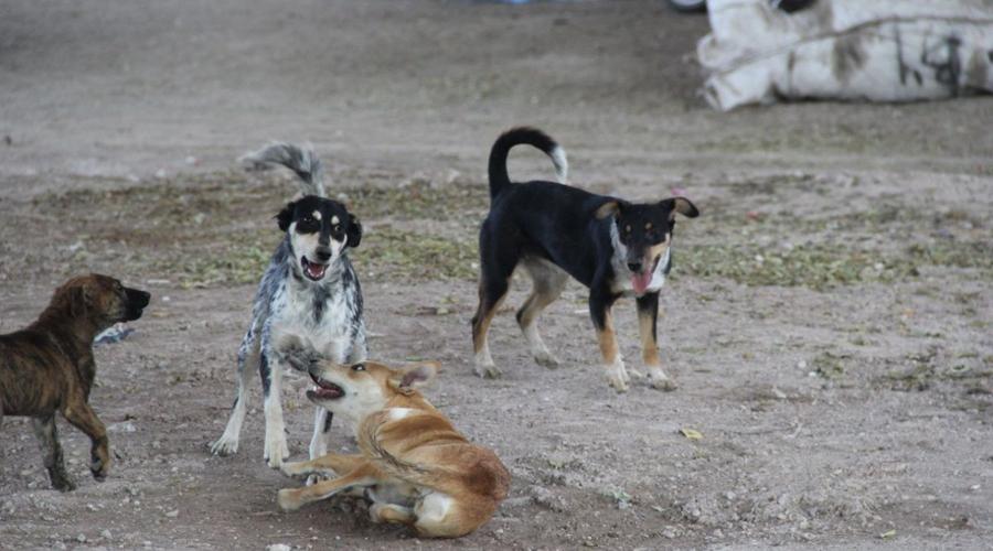 En la Mixteca, buscan disminuir la sobrepoblación canina   El Imparcial de Oaxaca