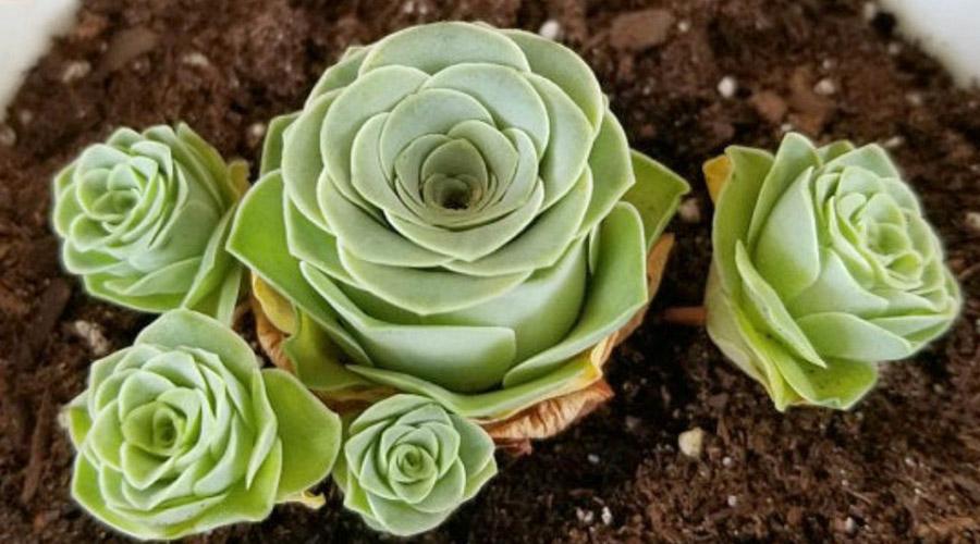 Conoce esta bella suculenta muy parecida a una rosa