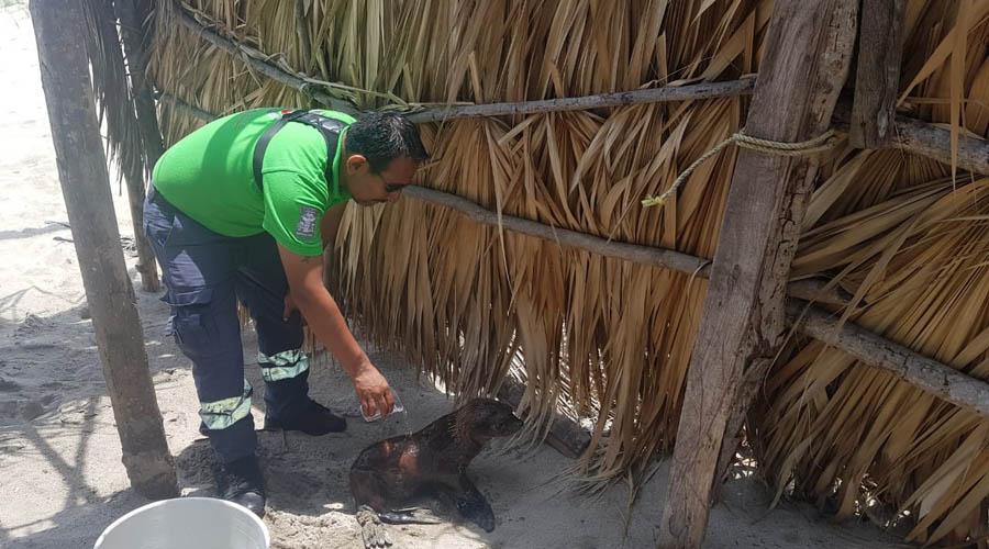 Rescatan a dos lobos marinos en playa de Tututepec
