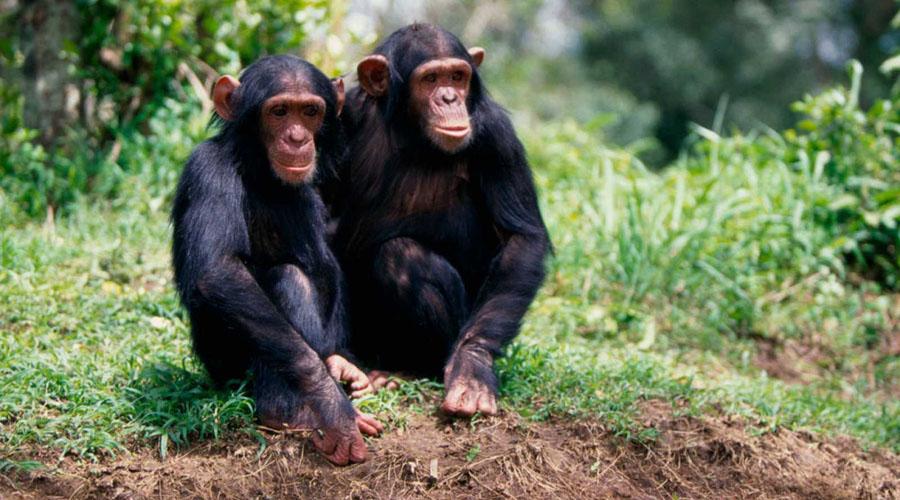 Video: Enternecen las redes sociales dos chimpancés bañando a un perrito | El Imparcial de Oaxaca