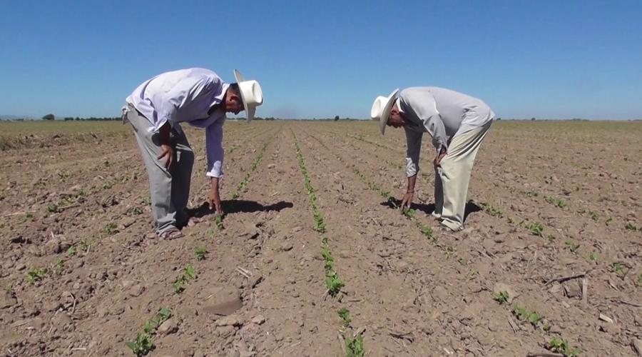 En riesgo, 95 % de cultivos de soya en Tamaulipas, por sequía atípica | El Imparcial de Oaxaca