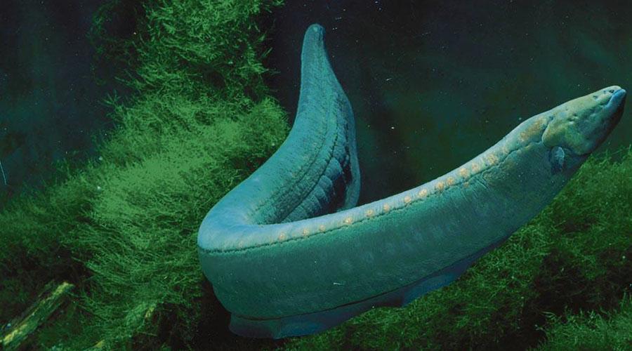 Descubren nueva especie de anguila eléctrica mucho más potente   El Imparcial de Oaxaca